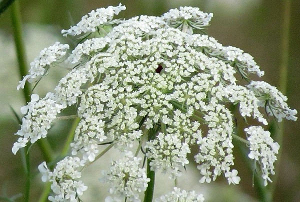 Bunga queen anne's lace