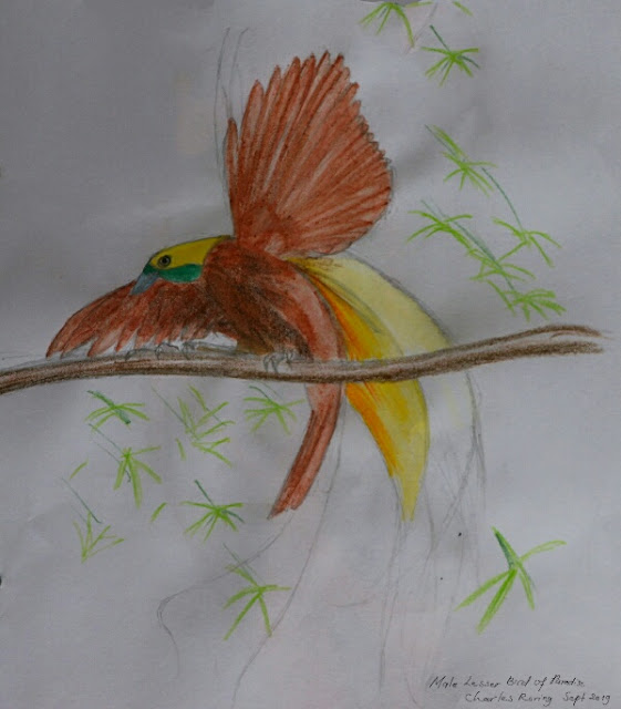 Drawing of Lesser Bird of Paradise
