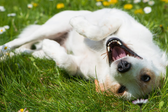 A happy dog rolls in the grass... Lots of resources to help you have a happy dog