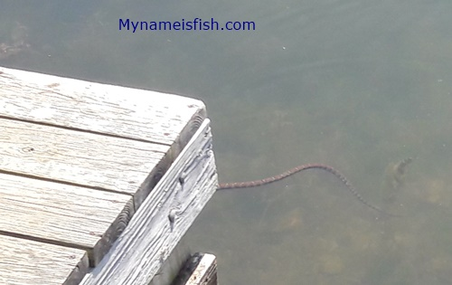 Copperhead snake near fisherman in Ohio