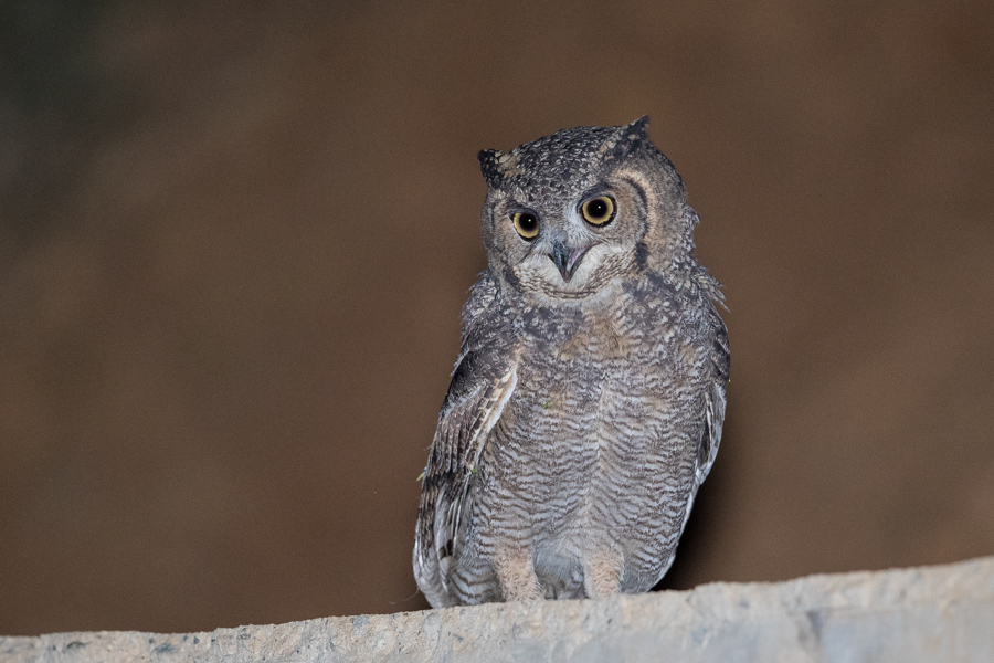 Arabian Spotted Eagle Owl