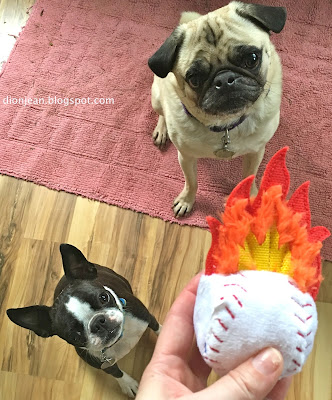 Liam the pug and Sinead the Boston terrier want the ball