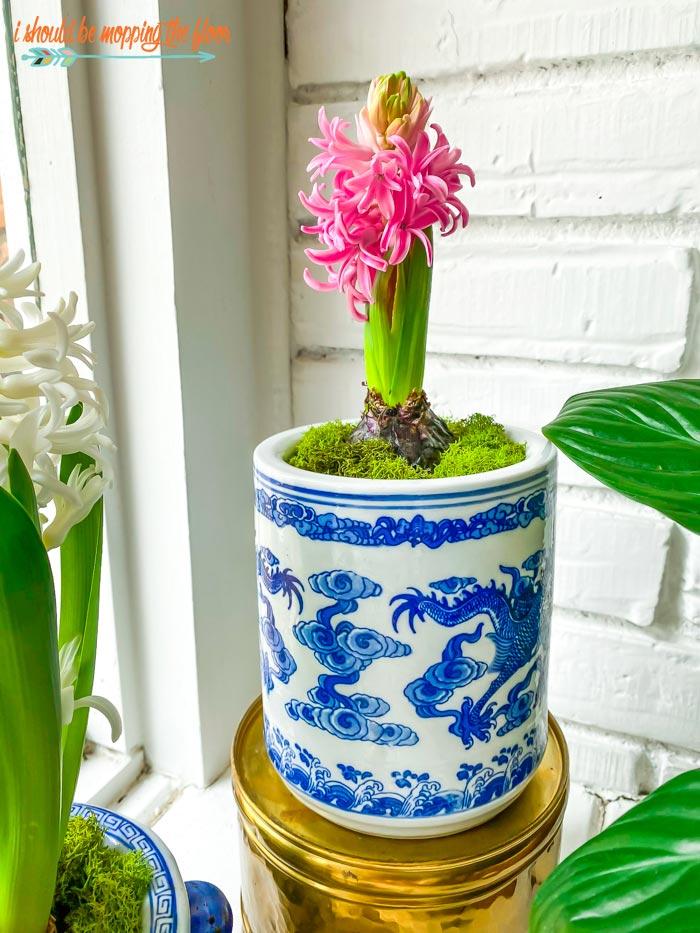 Single Potted Hyacinth