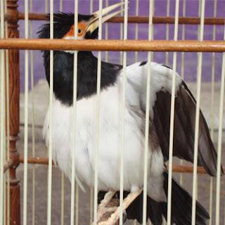 Foto Burung Jalak Suren Daftar Harga Terbaru