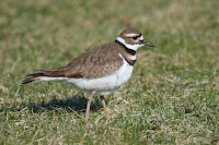 Killdeer, Cap Tourmente National  Wildlife Area, QC, by Cephas