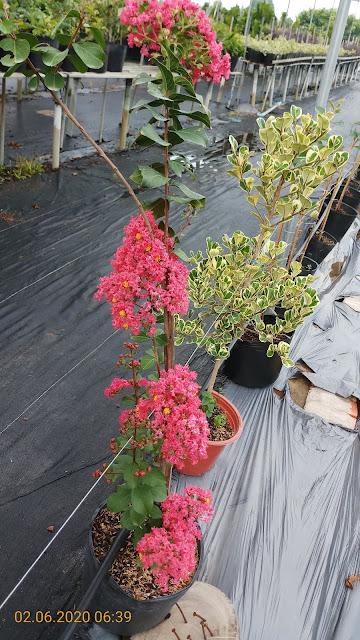 Cây tường vi thường cho hoa từ gốc đến ngọn