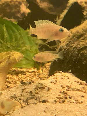 Neolamprologus multifasciatus couple