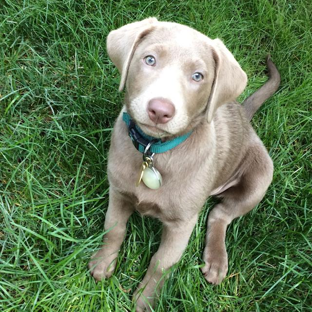 Cachorro de laboratorio de plata de 12 semanas de edad