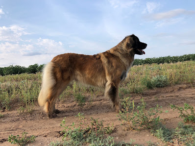 GCH CH Wildering's Too Hot For You NJP - Cinder - Tipping Point Leonbergers