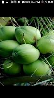 Tips Menghancurkan Batu Ginjal Dengan Air kelapa Hijau