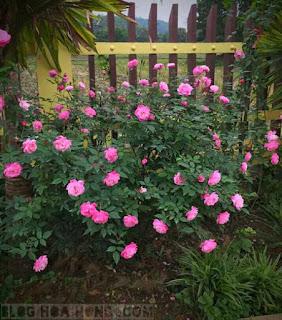 hình ảnh hoa hồng quế kép