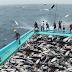 شاهد كم اصطاد هؤلاء من سمك التونة بالسنارة