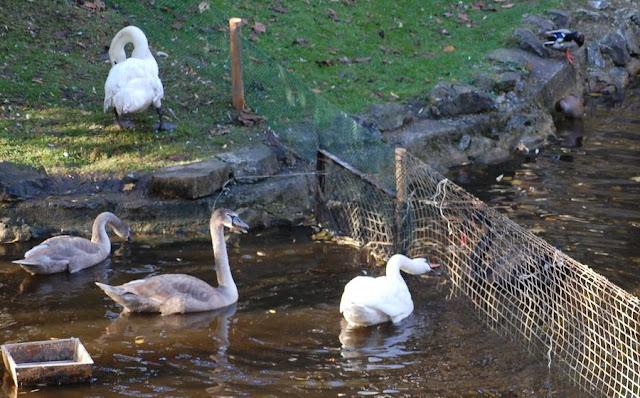 Лебеди обыкновенные - серо-белые постоянно что-то втолковывают чёрным.