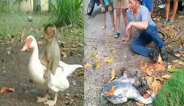 Persahabatan Monyet dan Bebek, Berteman Sejak Lahir, dan Meninggal Bersama