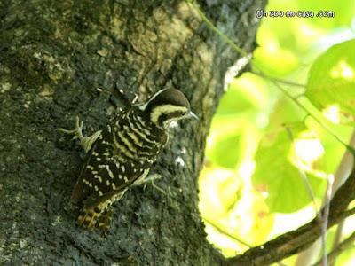 Dendrocopos maculatus - Philippine Woodpecker