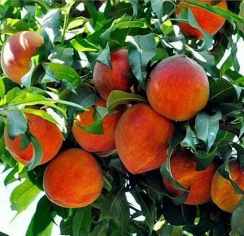 Promo Bibit buah persik bibit tanaman buah persik DELIFMART Jakarta