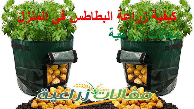 كيفية زراعة البطاطس في المنزل - مقالات زراعية