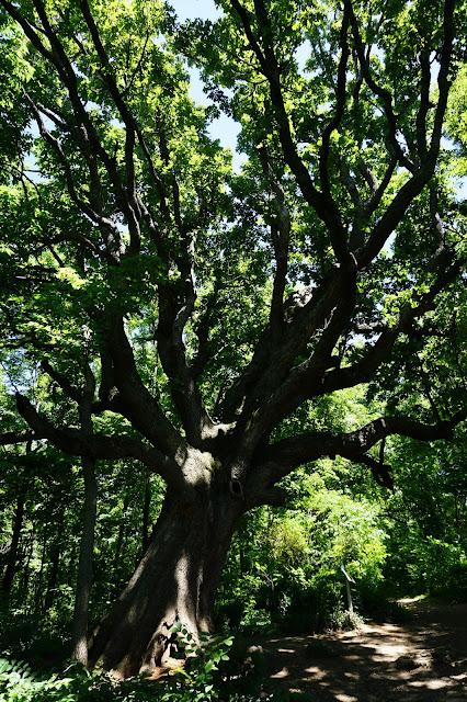 Bur Oak at McConnell Springs