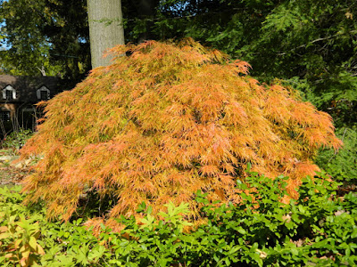 Laceleaf Japanese maple  Acer palmatum dissectum Viridis autumn foliage by garden muses-not another Toronto gardening blog
