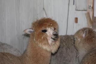Fluffy Alpaca.