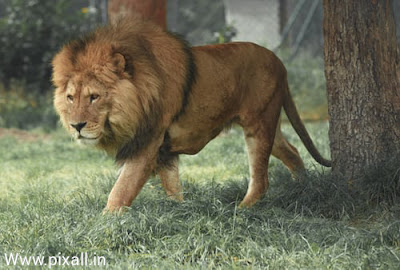 Lion Hd wallpaper | lion images | The Lion information 2020