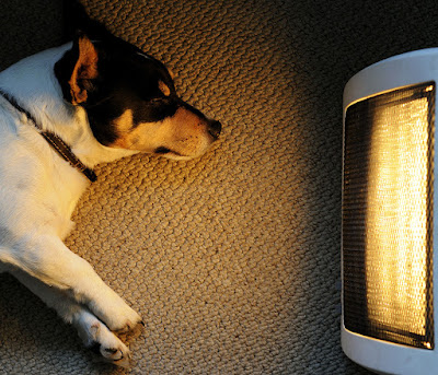 Jack Russell Terrier lying on the carpet gazing at floor radiant heater
