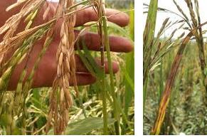 Cara Mencegah penyakit blas pada tanaman padi