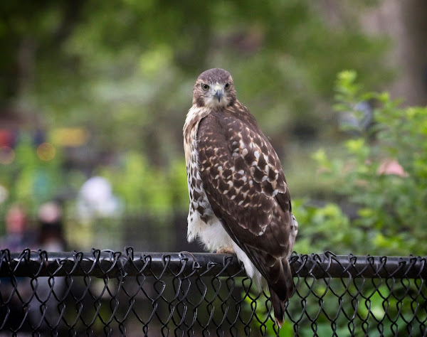 Tompkins Square red-tail fledgling 01