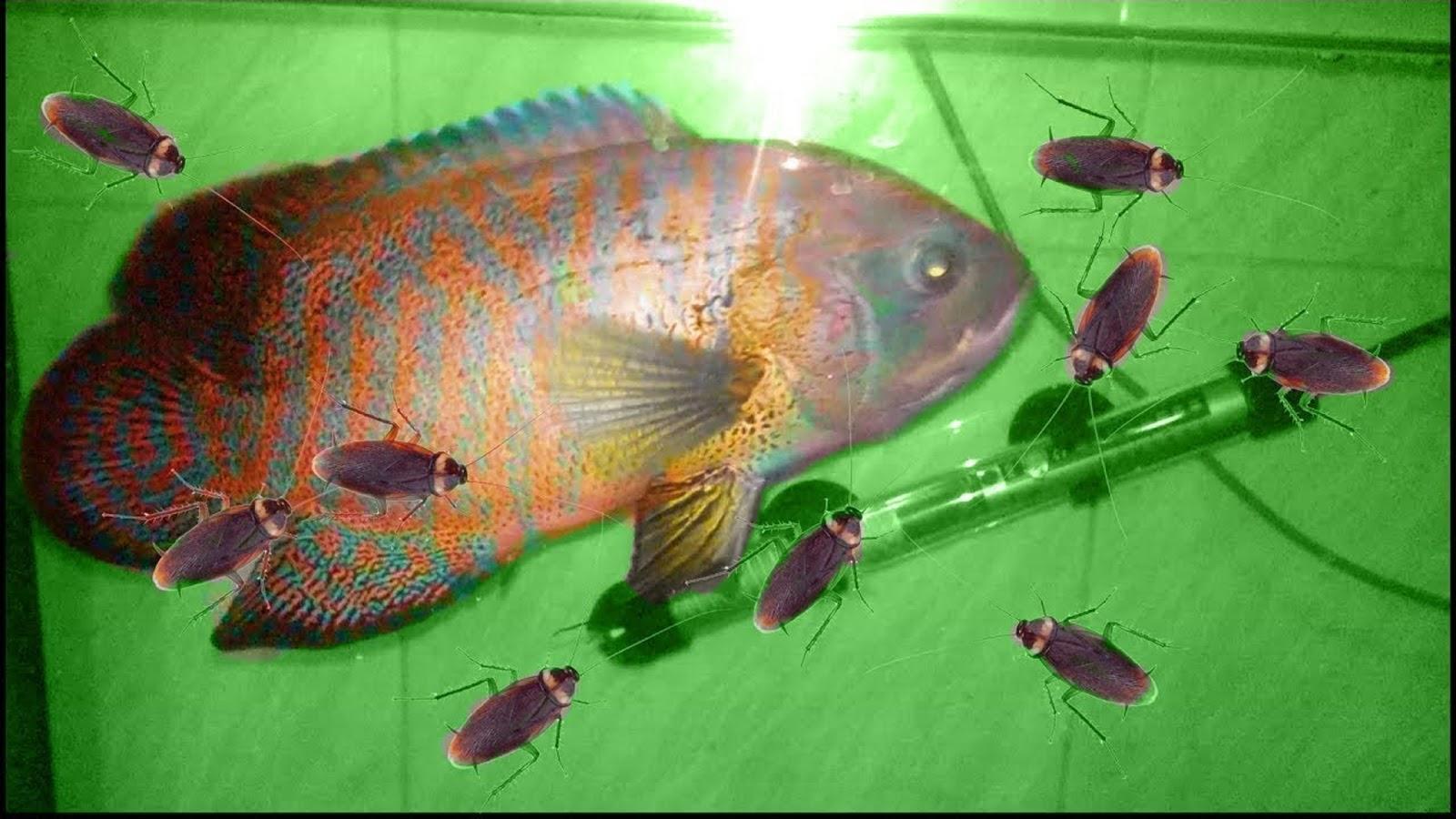 Oscar Fish VS Cockroaches
