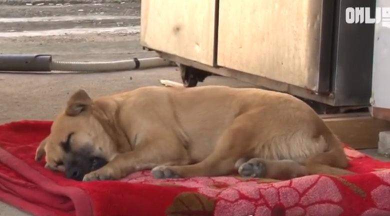 Κακοποιημένος σκύλος κλαίει στον ύπνο του... (βίντεο)
