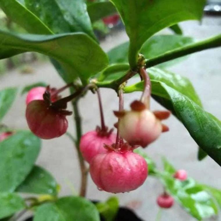 Bibit tanaman manggis Nipon Jepang Kota Administrasi Jakarta Pusat