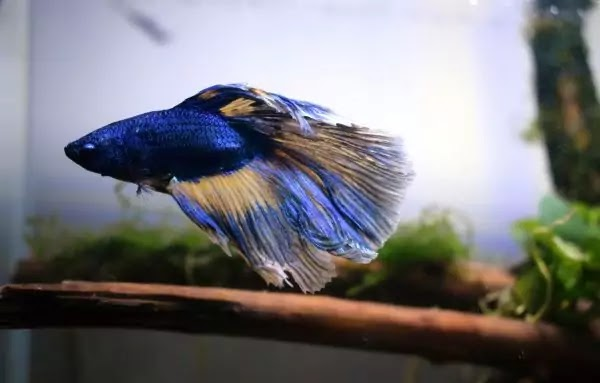 Betta Fish Care Guide: Facts & It's Easy To Handle a Betta Fish?