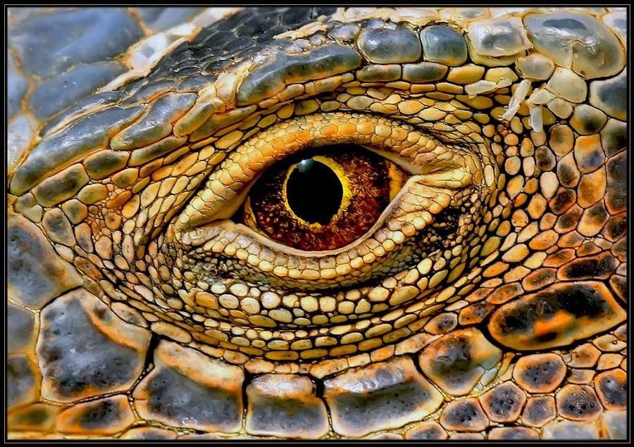 JP5 News-Thread - Seite 38 Komodo+Dragon+Eye