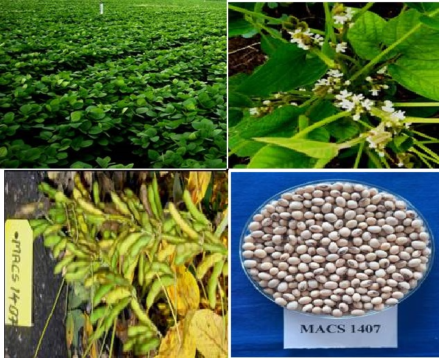 New high-yielding and pest-resistant variety of soybean MACS 1407 can help boost countrywide production