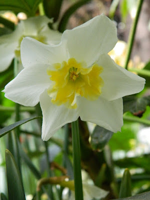 White and yellow narcissus at the Allan Gardens Conservatory 2018 Spring Flower Show by garden muses-not another Toronto gardening blog