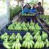 Naineck: Esperan cosecha de dos millones de cajas de bananas de primera calidad