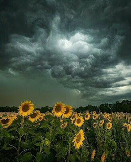 A field of sunflowers under a stormy sky.