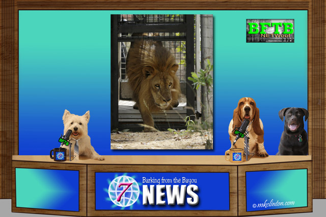 BFTB NETWoof News set with lion being released from captivity on back screen