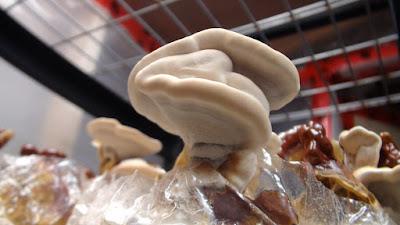 Lingzhi mushroom Cultivation Training