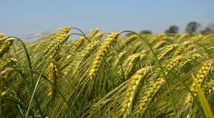 ઘઉંની ખેતી વિશે સંપૂર્ણ માહિતી