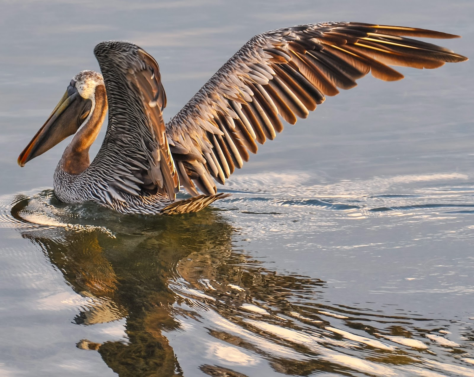 An amazing image of a pelican reflections.