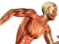 Struktur Otot, Mekanisme Kerja, Sifat, Dan Gangguan Yang Terjadi Pada Otot Manusia