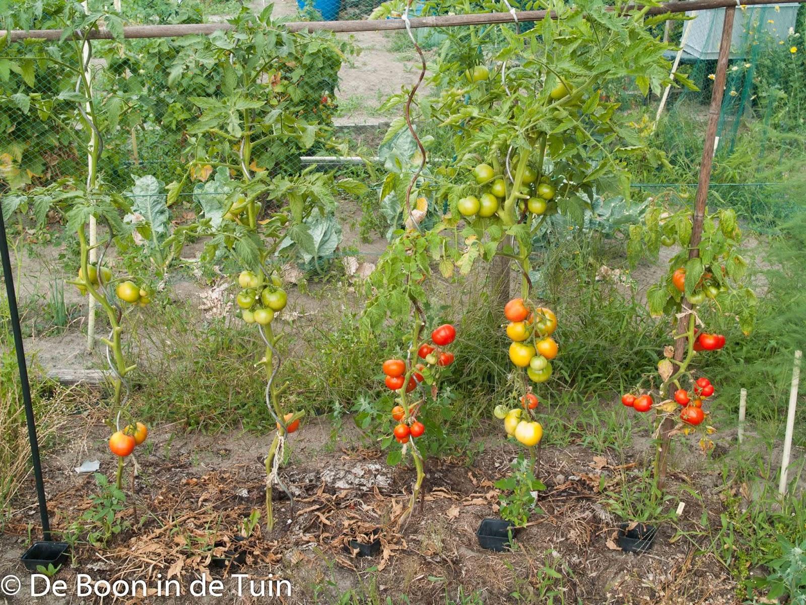 tomaten russian siberian early volkstuin moestuin volle grond augustus