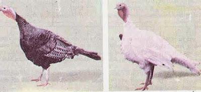 Γαλοπούλες: αναπαραγωγή και εκτροφή