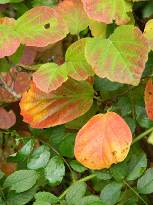 Fothergilla gardenii (Dwarf Witch Alder) at the Toronto Botanical Garden by garden muses-not another Toronto gardening blog