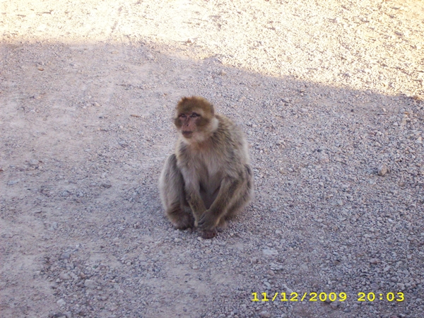 maroc-maimute-langa-fes-ifrane