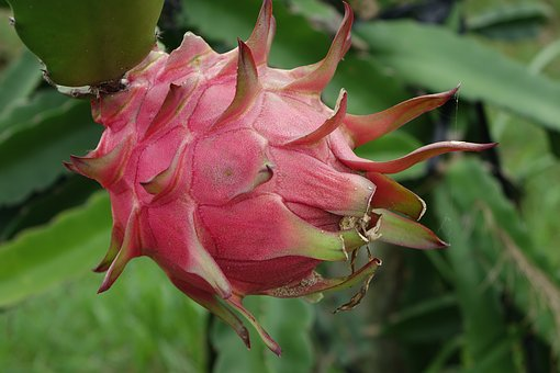 Dragon Fruit - Increasing Attraction among Farmers and Consumers