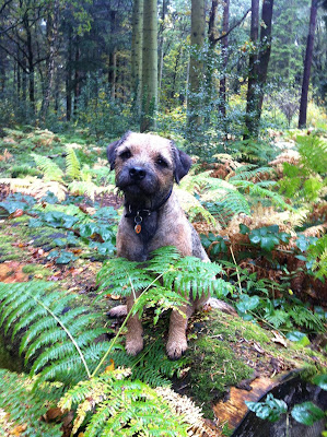 Border Terrier in Bracken