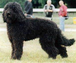 Barbet dog-pets-dogs-dog breeds