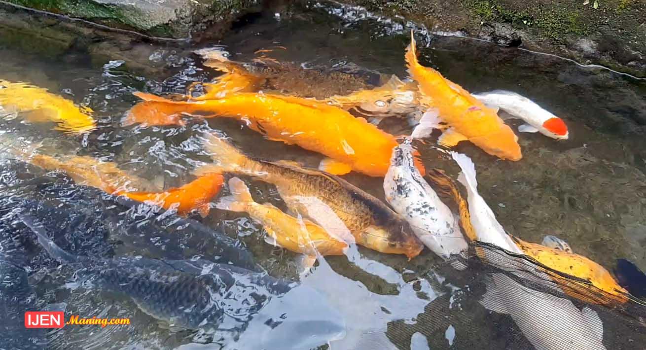 kampung ikan banyuwangi, kapoeng ikan banyuwangi, pesona wisata, pesona banyuwangi, wisata air banyuwangi, wisata alam banyuwangi,